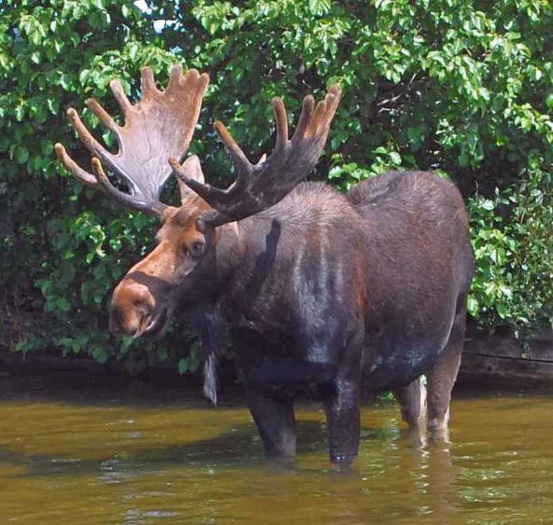Bull Moose 08 13 2014