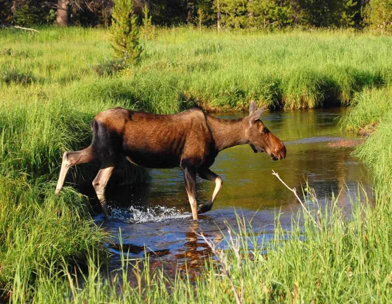 Moose in Stream RMNP 08 13 2014